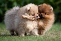 cara mendidik anak anjing mini pom