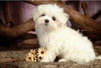 cara merawat anjing maltese