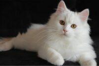 Perbedaan Kucing Persia dan Anggora