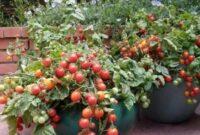 cara menanam biji tomat di pot
