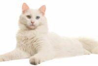 ciri-ciri kucing angora