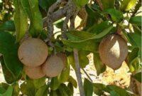 jenis batang pohon sawo