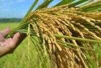 jenis jenis varietas padi