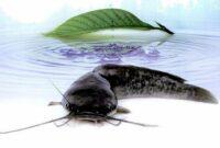 kandungan gizi ikan lele