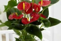 klasifikasi-dan-morfologi-tanaman-anthurium