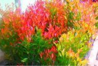 manfaat tanaman pucuk merah
