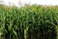 morfologi tanaman jagung manis