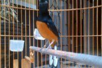 nama burung murai batu yang bagus dan hoki