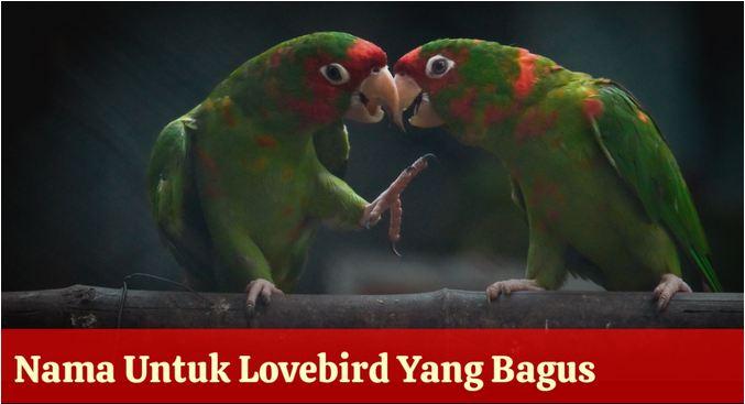 nama panggilan burung lovebird keren