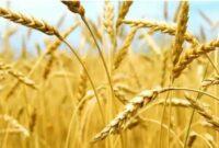 penyakit pada tanaman gandum