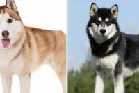 Malamute Dan Siberian Husky