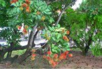 Morfologi Tanaman Rambutan