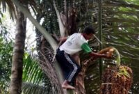 cara budidaya pohon aren