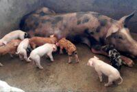 cara-budidaya-ternak-babi