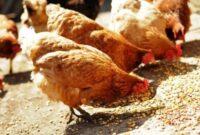 cara-membuat-fermentasi-pakan-ayam-dari-sayuran