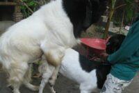cara-mengawinkan-kambing-agar-anaknya-jantan