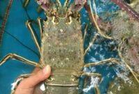 cara-mengawinkan-lobster-air-tawar