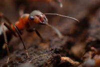 cara-mengusir-semut-di-kandang-jangkrik
