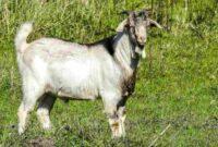 jenis kambing unggul untuk ternak