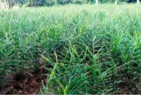 klasifikasi tanaman jahe merah