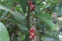 klasifikasi tanaman jambu bol