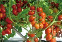 klasifikasi tanaman tomat