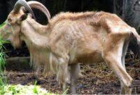 macam macam penyakit pada kambing dan cara mengobatinya