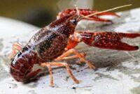 makanan untuk lobster air tawar