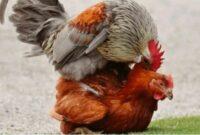 mengatasi ayam betina tidak mau kawin