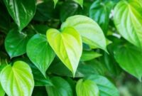 morfologi daun sirih merah