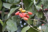 morfologi tanaman melinjo