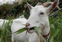 pantangan-makanan-kambing-hamil