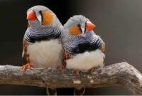 cara-beternak-burung-zebra-finch