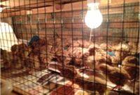 cara-membuat-kandang-anak-ayam-baru-menetas