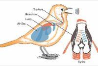 cara-mengobati-suara-serak-pada-burung