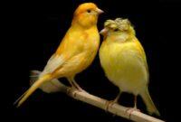 cara-menjaga-warna-burung-kenari-tetap-bagus