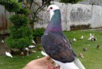 jangkrik untuk burung merpati