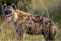 jenis-hyena
