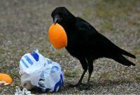 makanan-burung-gagak