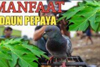 manfaat daun pepaya untuk burung merpati