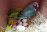 tanda-telur-lovebird-tidak-menetas