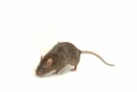 erek-erek-tikus